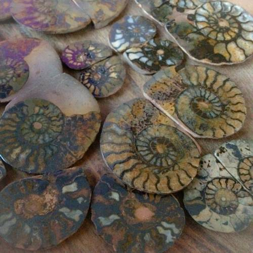 Pair of Ammonite Fossils - For continual change and evolution
