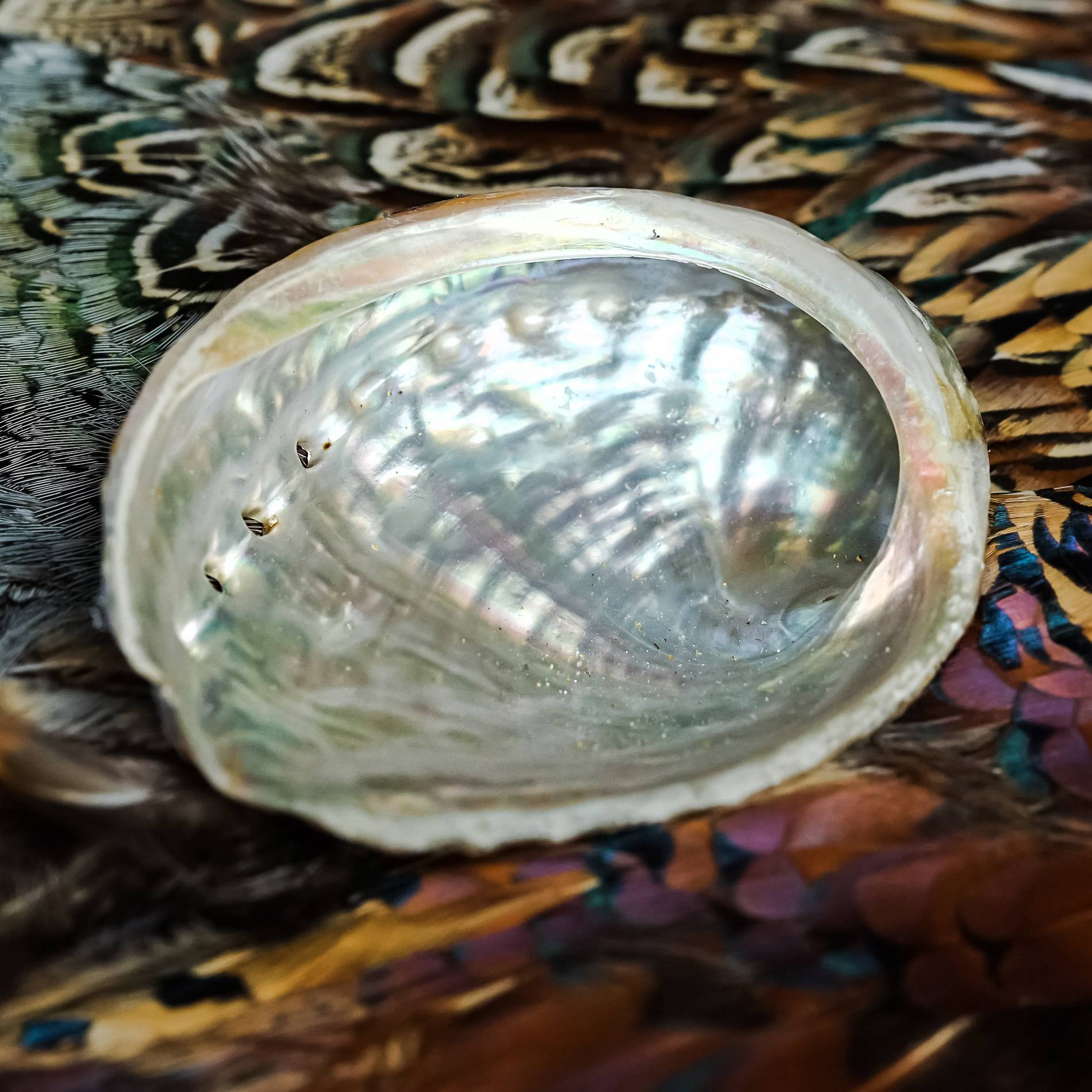 mini abalone shell